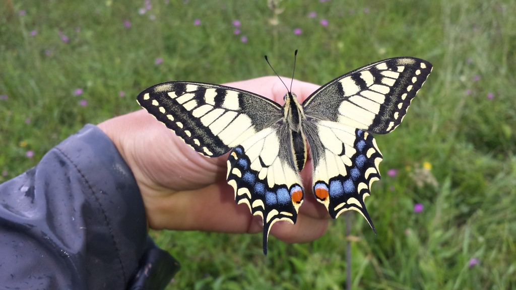 Der Schwalbenschwanz (Papilio machaon) ist einer der grössten einheimischen Schmetterlinge [gm]