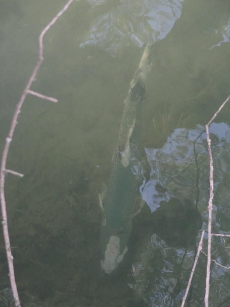 Grosse, (+- 70 cm) stark mit Pilz befallene Seeforelle/Flussforelle (Salmo trutta) [gm]
