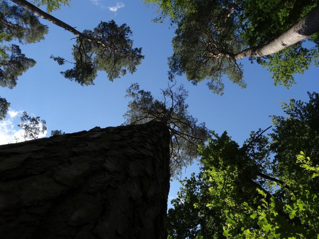 Die Waldföhre (Pinus sylvestris) wird über 40 Meter hoch [gm]